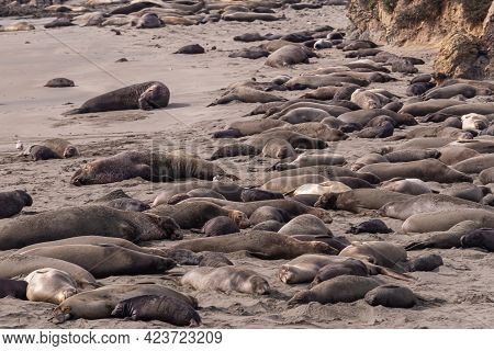 San Simeon, Ca, Usa - February 12, 2014: Elephant Seal Vista Point. Large Group Of Resting Males, Fe