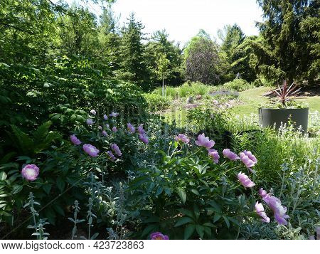 Landscape Of Regular Park With Blooming Pink Pions