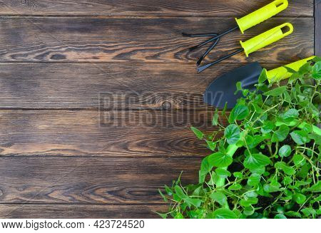 Flat Lay Top View With Copy Text Space With Gardening Tools And Indoor Green Botanical Plants, Susta