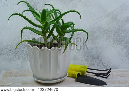 Succulent House Plant Aloe Vera In A Pot, Gardening Tools For The Care Of Indoor Plants, Sustainable