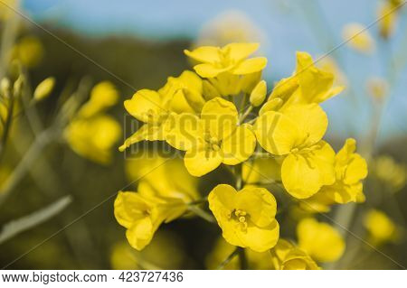 Yellow Rapeseed Or Canola Flowers, Grown For The Rapeseed Oil