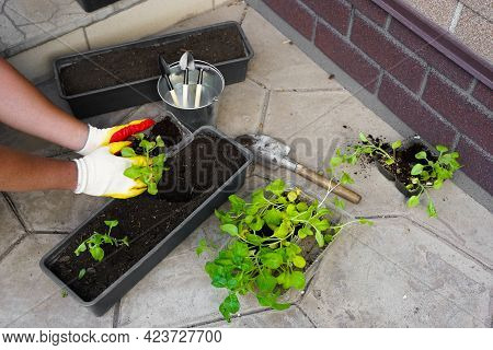 Gardener Planting With Flower Pots Tools. Woman Hand Planting Flowers Petunia In The Summer Garden A
