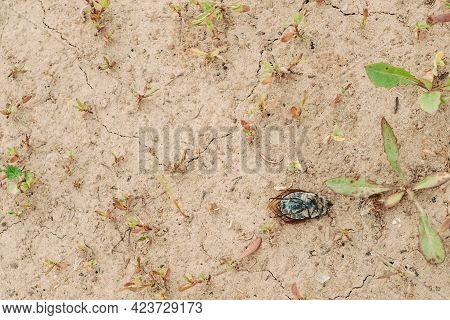 Big And Dead Beetle On The Ground. The Beetle Lies With Folded Paws On Its Back. . Beetle In Hiberna