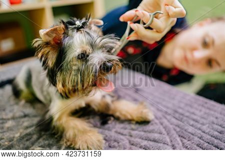 Groomer Makes Shearing Of Yorkshire Terrier By Scissors. Extras At The Pet Store