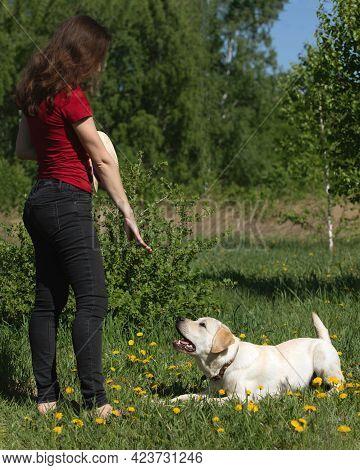 Woman Training Or Preparing Of Labrador Retriever For Exhibition In Outdoor