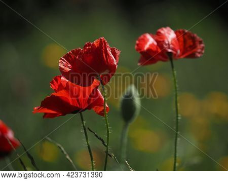 Close Up Of A Field Of Poppies, Beautiful Summer Background