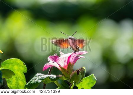 Hummingbird Hawk-moth, Macroglossum Stellatarum, Is Eating Nectar From Flower. The Hawk Moth Feeds O