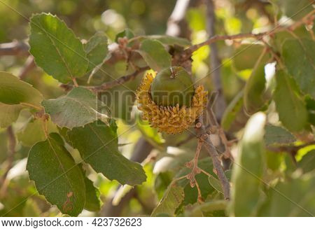 Oak Acorn On The Branch. Oak Branch With Green Leaves And Acorns On A Sunny Day. Oak Tree In Summer.