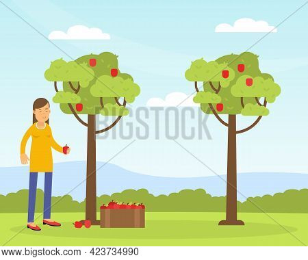 Young Woman Gathering Apples In The Orchard Contributing Into Environment Preservation Vector Illust