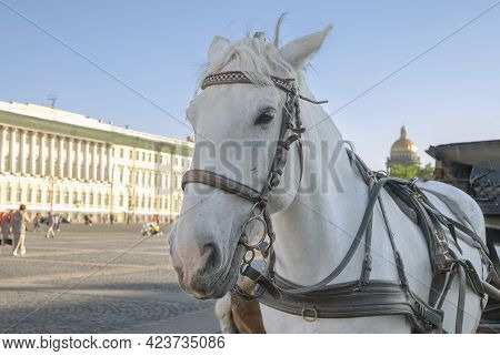 Close-up Of The Head Of A White Horse Harnessed To A Stroller In The City Square. Selective Focus. B