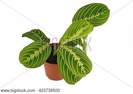 Exotic Green Veined Houseplant With Botanic Name 'maranta Leuconeura Lemon Lime' In Flower Pot Isola