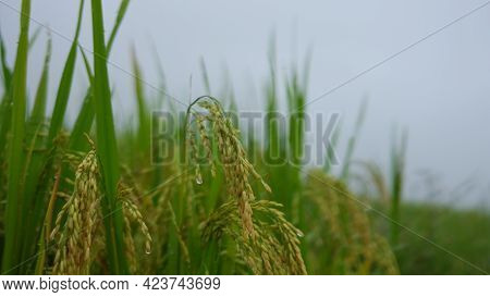 Paddy Field Or Rice Field. Closeup Of Yellow Paddy Rice Field In Autumn. Royalty High-quality Free S