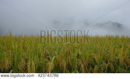 Rice Paddy Field In Harvesting Season. Closeup Of Yellow Paddy Rice Field With Green Leaf In Autumn.