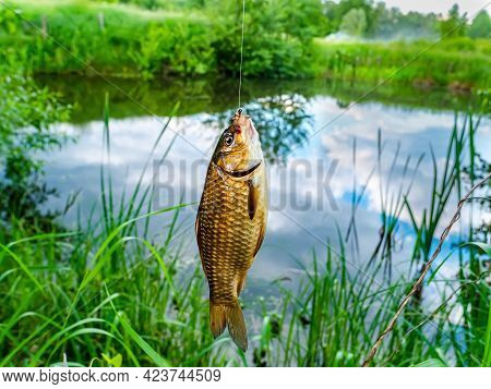 A Crucian Carp Is Caught With A Fishing Rod In A Freshwater Lake. Fish Crucian. Carp Family. The Fis