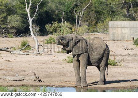 Solitary African Elephant (loxodonta Africana) Drinking Water With His Trunk In Kruger National Park