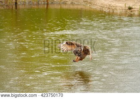 Detailed Close Up Of A Wild Eagle Owl. The Bird Of Prey Starts Landing, Just Above The Water Of A La