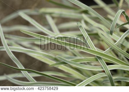 Variegated Society Garlic Leaves - Latin Name - Tulbaghia Violacea Variegata