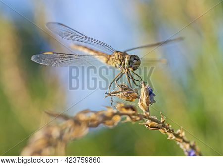 Closeup Macro Detail Of Wandering Glider Dragonfly Pantala Flavescens On Plant Stem Above Grass In G