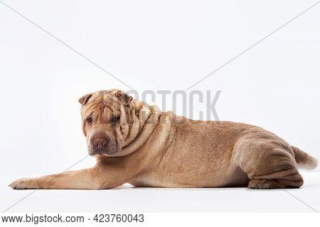 Shar Pei On White Background. Red Dog Lying
