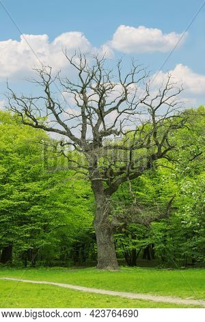 Beautiful Leafless Tall Tree In Park On Sunny Day