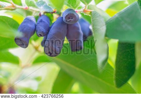 Ripe Honeysuckle Berries Of A Dark Blue Color On A Honeysuckle Bush Among Green Leaves In Drops Of W