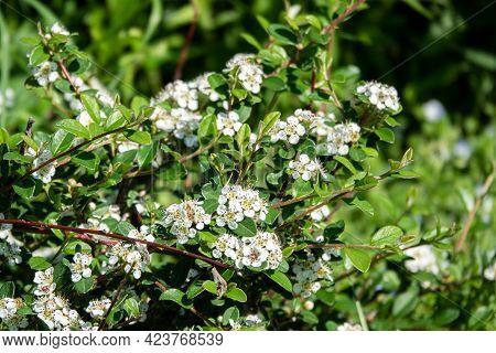 Bearberry Cotoneaster Major - Latin Name - Cotoneaster Dammeri Major In Garden