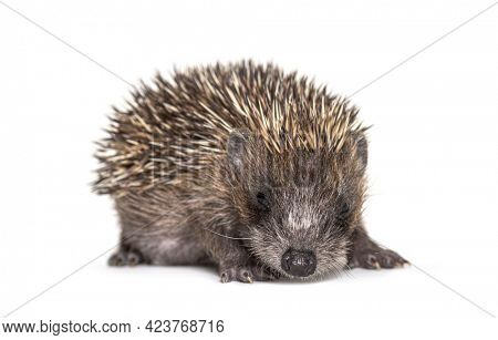 Young European hedgehog looking at the camera, isolated on white