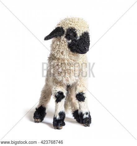 lovely Lamb Valais Blacknose sheep three weeks old