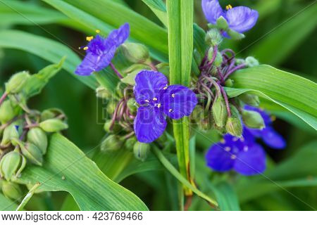 A Close Up Of A Purple Widows Tears Blossom In The Garden
