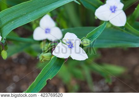 A Close Up Of A White Widows Tears Blossoms In The Garden