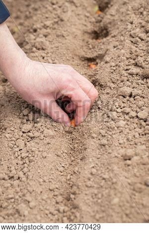 Hand Of An Elderly Woman Planting Fresh Seeds Of Onion On Ground In Vegetable Garden Outdoors At Spr