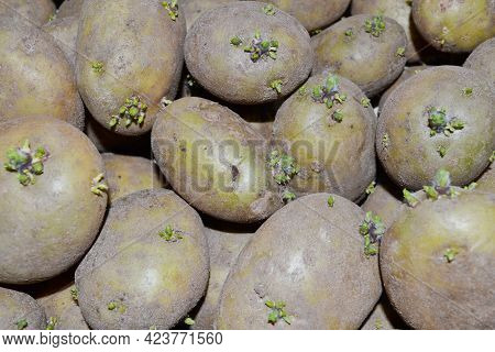 Background Of Potatoes With Sprouted Shoots For Planting In The Garden And Harvesting.seedlings Of P