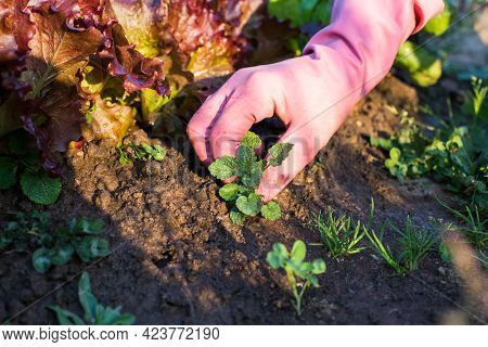 Female Hand In Working Rubber Glove Weeding Weeds In Vegetable Garden In Sunny Day In Summer Close U
