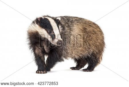 European badger, six months old, Walking side view and looking at camera