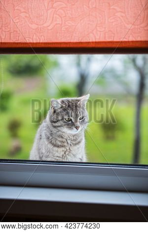 Cute Cat Gray Color Sits And Looks In Window Of House Outdoors Outside In Spring In Garden Close Up.