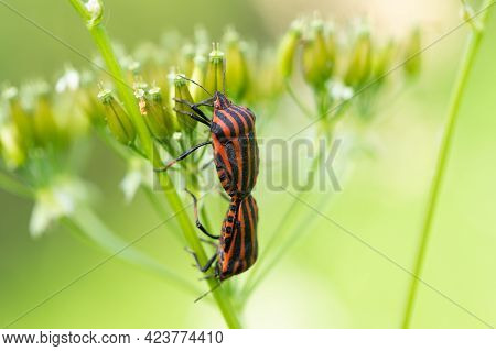 Two Bug Graphosoma Lineatum Red And Black Colors Mating On Carum Carvi Umbelliferae Plant On Meadow