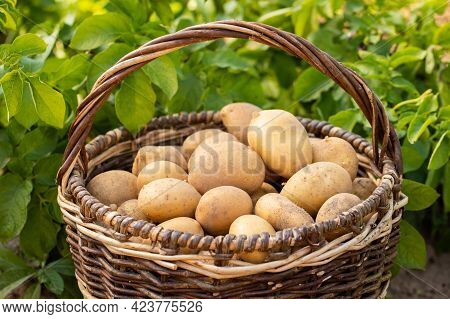 Fresh Young Potatoes With Flower Of Potato On Ground Close Up. New Potato Harvest.