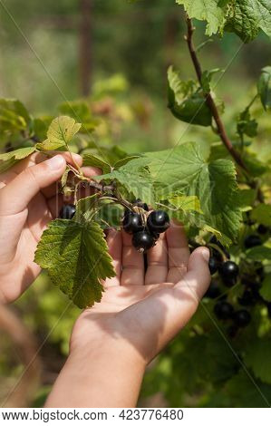 Ripe Black Berry Of Currant On Child Hand In Fruit Garden Close Up. Harvest Currant.