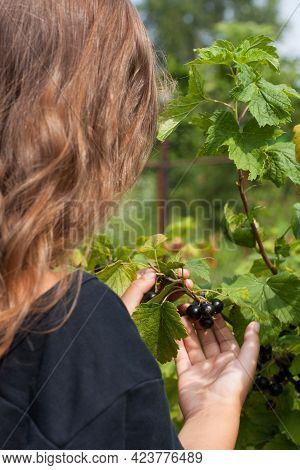 Little Girl With Black Berries Of Currant On Child Hand In Fruit Garden Close Up. Harvest Currant.