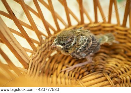 One Grown Up Chick (fledgling) Of House Sparrow In Wooden Wicker Bowl Top View.