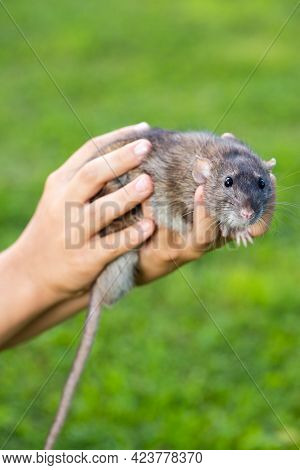 Cute Animal Of Rat Rattus Gray Color In Child Hands On Background Grass Outdoors In Summer.