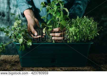 a caucasian man, wearing a gray working coat, plants some aromatic herbs such as mint, parsley, and basil in a green plastic window flower box, placed on a rustic wooden table