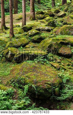 Pine forest with stones in Himalayas. Manali, Himachal Pradesh, India