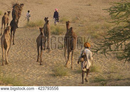 Pushkar, Rajasthan, India - November 5, 2008: Camel Herder Arriving At The Annual Pushkar Fair In Ra