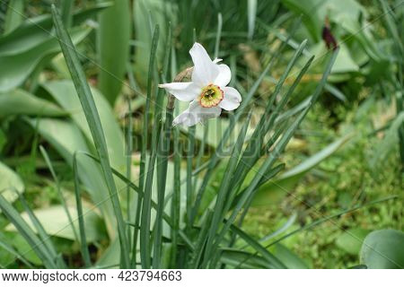 White Flower In The Leafage Of Narcissus In May