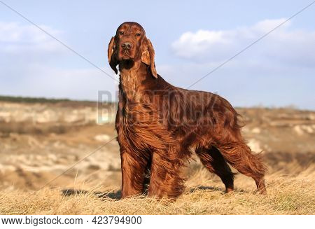 Beautiful Obedient Dog Waiting In The Grass With Blue Sky Background. Pet Training.