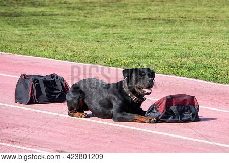 A Police Sniffing Dog At The Training For Finding Drugs, Weapons, Explosives In Bags.