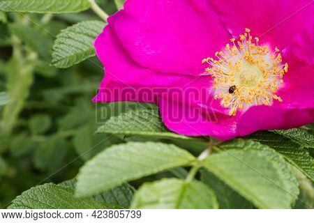 Tiny Bug Sits In The Middle Of Wild Rose Flower Among Yellow Stamens