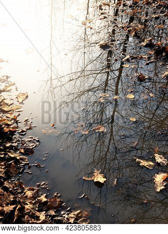 Bare Tree Reflects On Puddle With Floating Fallen Leaves, Autumn Background
