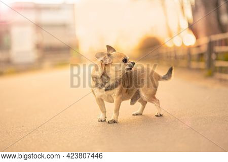 A Small Toy Dog Male of Mixed Breed Barking And Lookins In Left, Light Brown Color Standing On The